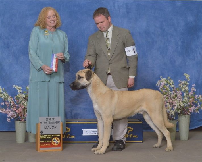 Babar winners dog - anatolian